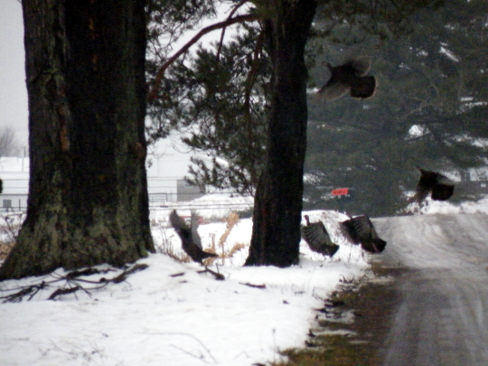Turkeys Fleeing
