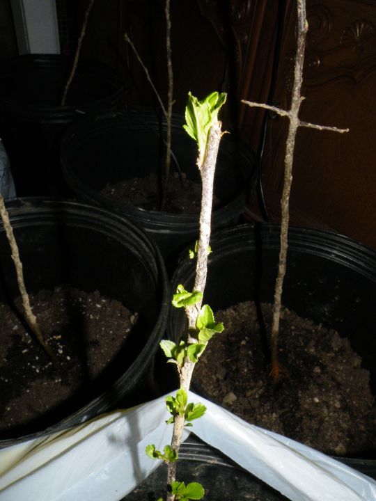 Bareroot Apple Seedlings First Leaves