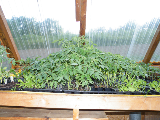 Fierce Competition for Sunlight - Tomato Plants