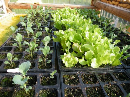 Cauliflower, Lettuce & Pak Choi