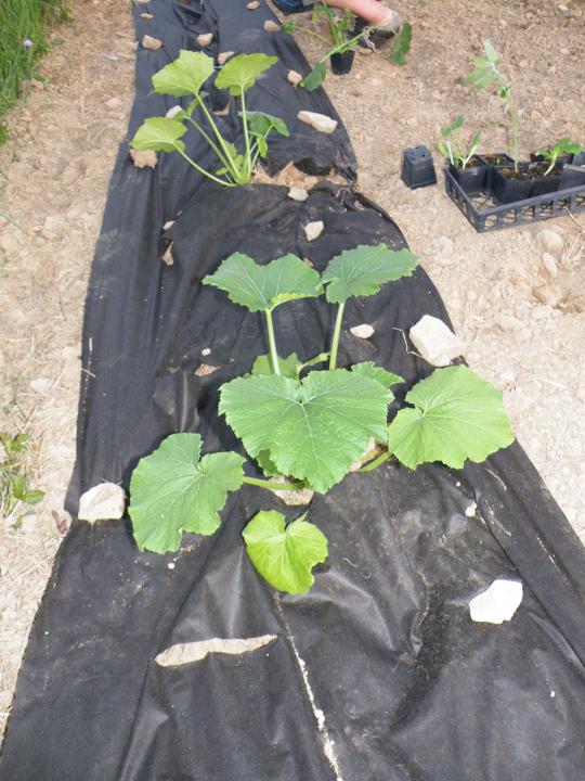 Zucchinni Planted
